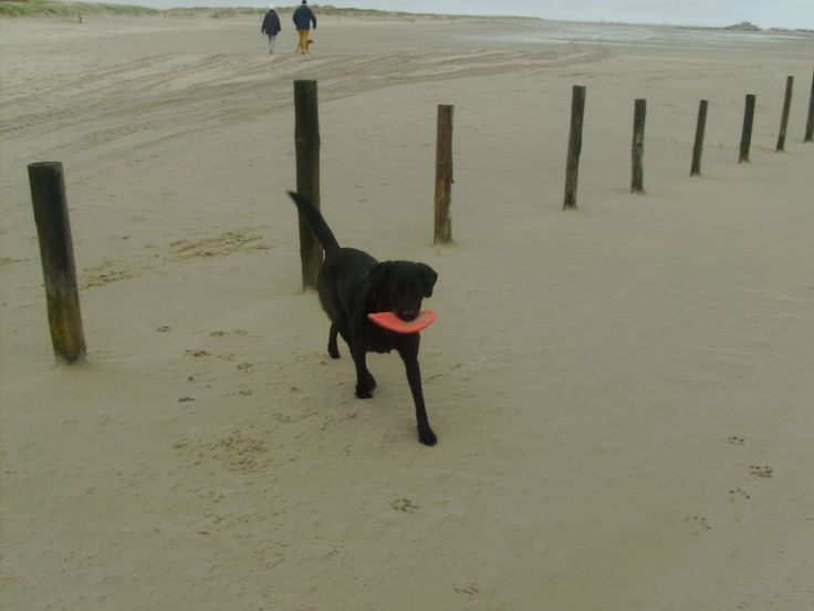 Lunas favourite place - Beach at St. Peter-Ording, North Sea :-)  #nordsee #sylt #northsea #dogholiday #urlaubmithund #ferienhaus #holidayhome #motivation #lifestyle #desire #happiness #inspire #confidence #instagood #beautiful #great #greatday #instacool #instalike #livingthedream #sunrise #sunset #holiday #urlaub #dog #hund #labrador