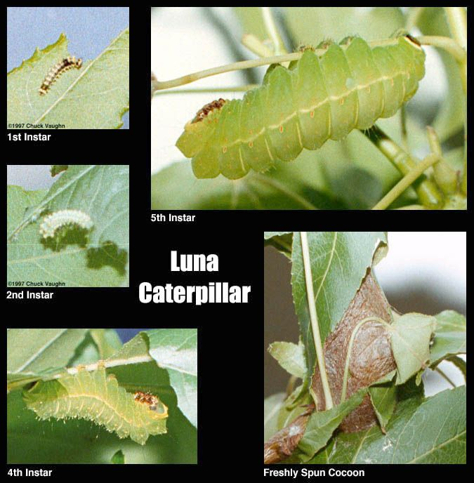 Conor's Blog: Lunar Moth Research - Anatomy Project