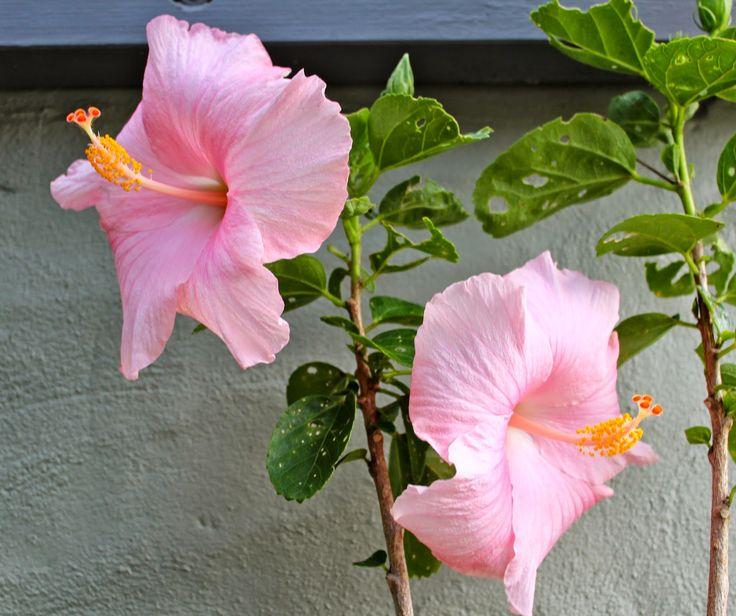 Hibiscus rosa-sinensis 'Boondah