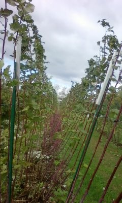 Raspberry bushes down on the farm
