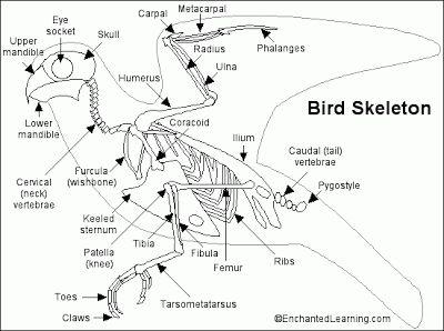 dfbcc9a02df41ead768adf8e4e10975e bird bones sparrow bird bird skeleton wings tucked google search 羽ばたき pinterest