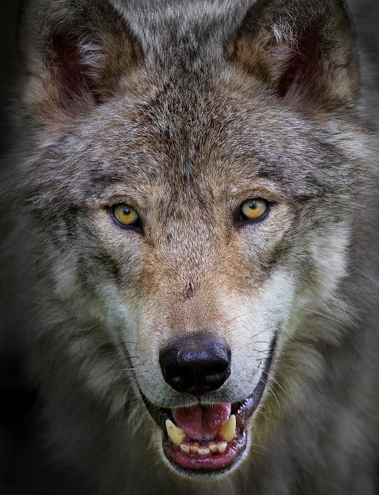 Wild Wolf, but magnificent. The Nature Conservancy  (FB)