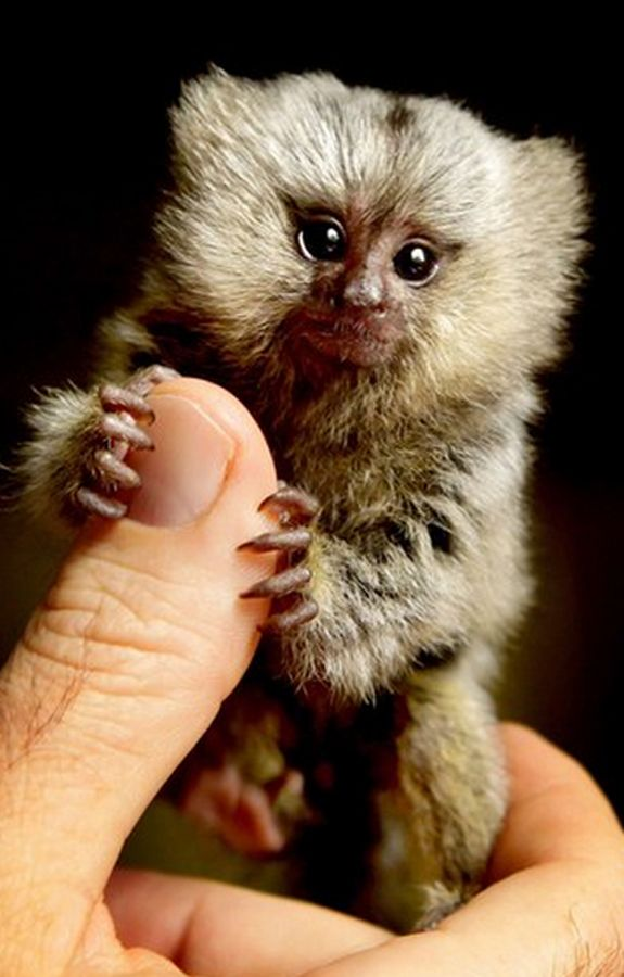 A teensy baby monkey makes a play for the cutest animal ...