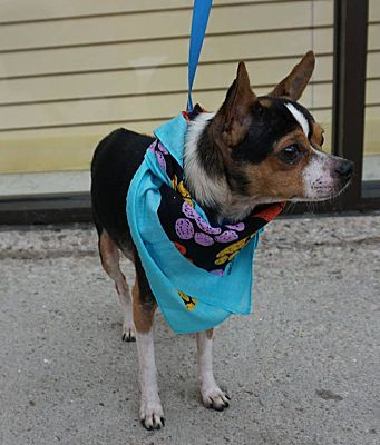 Toledo Oh Chihuahua Meet Floyd A Dog For Adoption Chihuahua Dog Adoption Pet Adoption