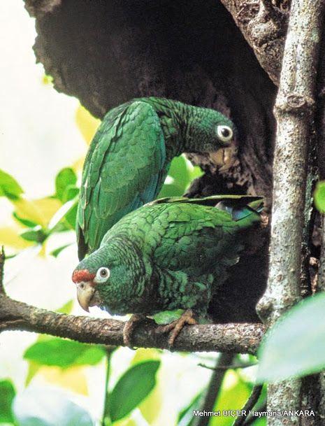 Amazon Papağanı