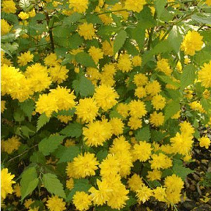 Gefüllter Ranunkelstrauch,1 Pflanze