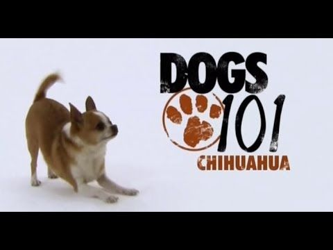 DOGS 101 - Chihuahua [ENG]