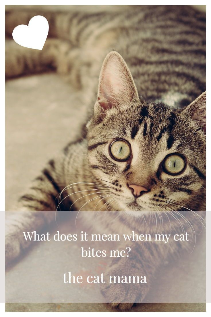 Do Cats Give Love Bites What Does It Mean When Your Cat Bites You Cat Biting Cats Mama Cat