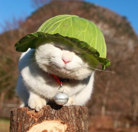 Cabbages keep Kitty cool part 1.