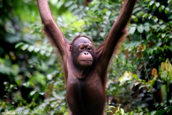 Borneo may lose half its orangutans to deforestation, hunting, and plantations  Read more at http://news.mongabay.com/2012/1113-borneo-orang-utans-future.html#w9PoS9c2F44zrpxD.99