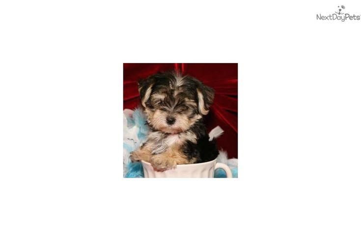 Tcup Zazu cute Morkie Puppy for Sale in Queens NY Morkie