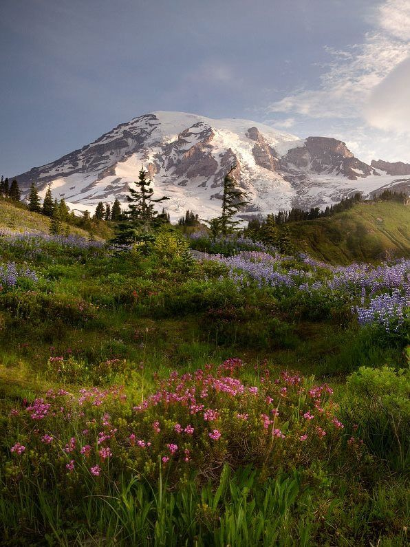Ascending to 14,410 feet above sea level, Mount Rainier stands as an icon in the Washington landscape. Subalpine wildflower meadows ring this icy volcano while ancient forest cloaks its lower slopes. Created March 2, 1899, Mount Rainier National Park is America's fifth oldest national park. Photo by Vikas Garg (www.sharetheexperience.org).