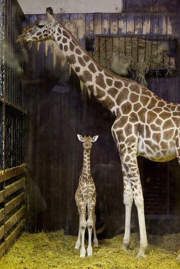 This is the cutest thing Ive ever seen I love giraffes!Zoos Animal, Stands Tall, Madrid Spain, Animal Baby, Baby Giraffes, Animal Track, Baby Animal, The Zoos, New Baby