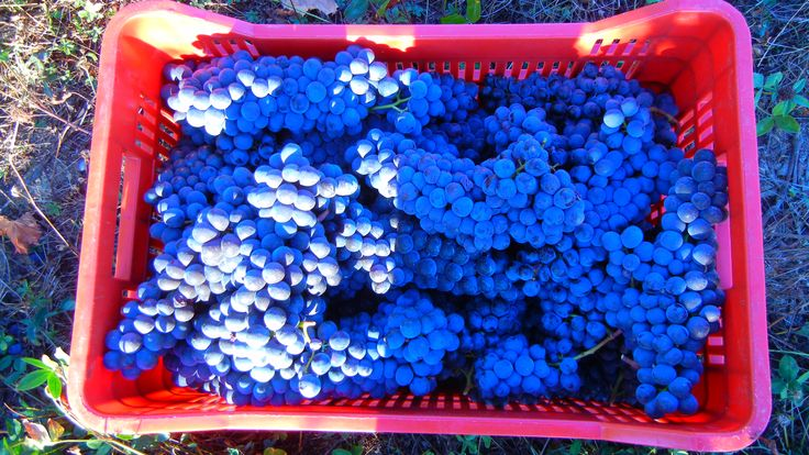 Red grapes from Tenuta Torciano. #harvest