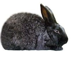 Silver Fox Rabbit Breed. Black is the only recognized color. Reaches up to 12 pounds.
