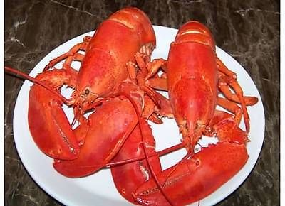 6-1-25-lb-Live-Maine-Lobster-by-Maine-Lobster-Tank