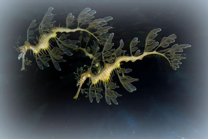 O dragão-marinho-folhado usa sua nadadeira ao lado da cabeça para mudar de direção. Entretanto, sua pele é bem rígida, o que limita sua mobilidade.  Já foram observados dragões-marinhos que permaneceram em um mesmo lugar por longos períodos (até 68 horas), mas ele pode mover-se também por muitas horas.  Um espécime foi observado ao mover-se até 150 metros por hora.