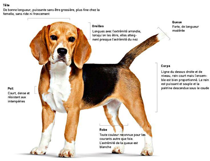 chien de garde taille moyenne | chien de garde taille