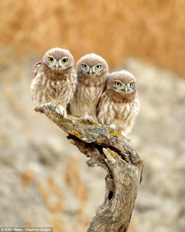 Known as Athene noctua or Little Owls, these birds were sacred to the goddess Athena [photo by Vladimir Kogan]