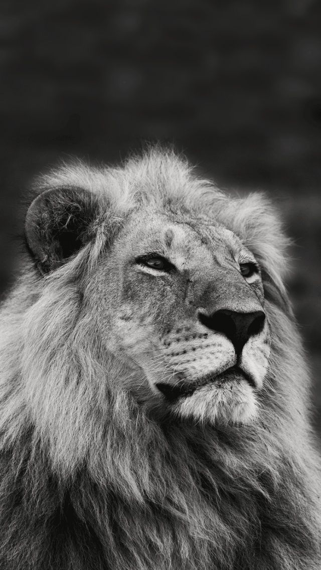 Lion black and white iphone wallpaper - photo#12