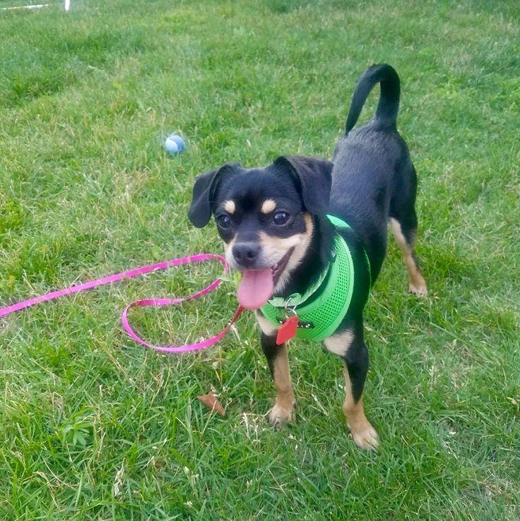 Muggin dog for Adoption in Eden Prairie, MN. ADN-592691 on PuppyFinder.com Gender: Female. Age: Young
