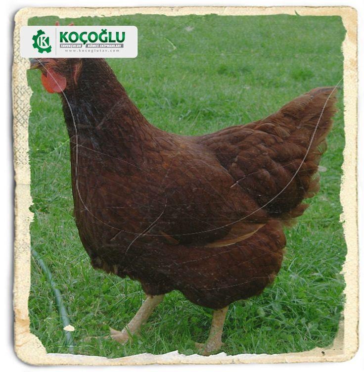 Salma tavukçuluk hakkında detaylı bilgi almak için koçoğlu tavukçuluk web sayfasını ziyaret edin http://www.yarkaburada.com