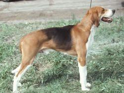 Chien Foxhound américain