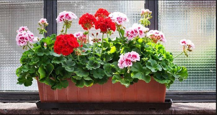 Un truc uimitor pe care trebuie să-l aplici ca să ai flori mai mari si mai dese la muscate! Folosește o coajă pe care de obicei o arunci la gunoi    Pelargonium este un gen de plante