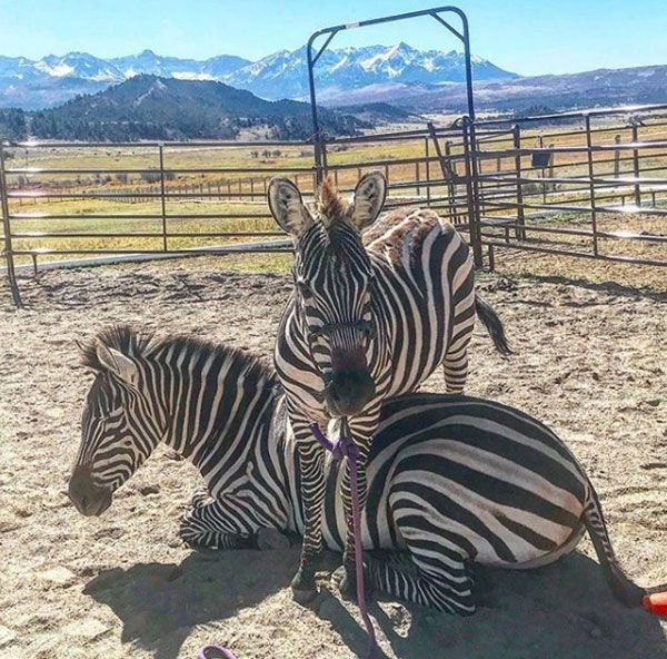7 Times Mustang Maddy And Her Zebras Wowed Us - COWGIRL Magazine