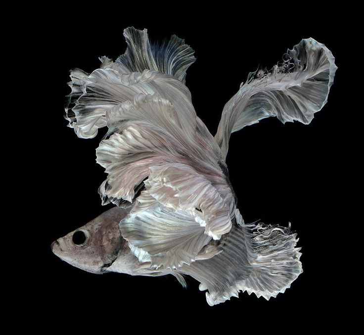 Bangkok-based photographer Visarute Angkatavanich (previously) continues to capture some of the most elegant portraits of fish we've seen. His intimate, crystal-clear photos of Siamese fighting fish (betta) make it seem as though they are suspended in air instead of water. Angka