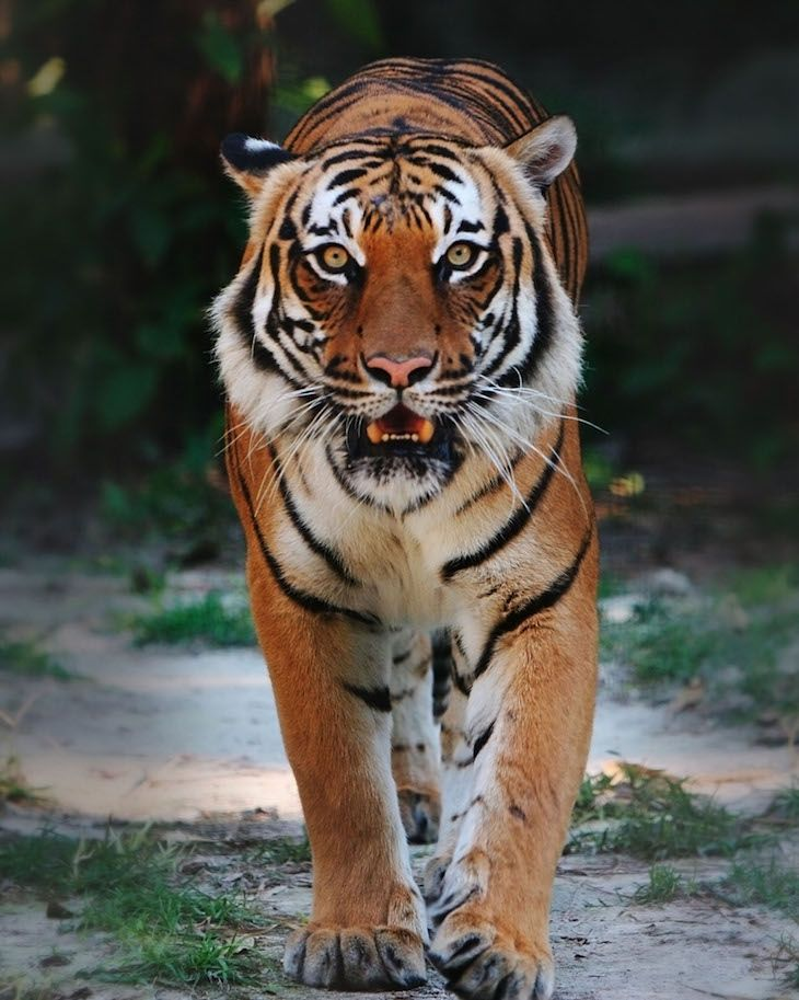 The South China tiger is a smaller-sized subspecies of tiger, native to the forests of southern China. It is the most critically endangered of all the tiger species. In the early 1950s the population was estimated to 4,000 individuals which has declined to less than 20 remaining.