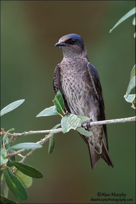 Purple Martin female (Progne subis)