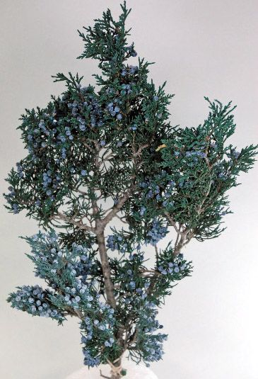 "Preserved Natural Fragrant Juniper Branch with Juniper Berries 20"" tall $12.49"