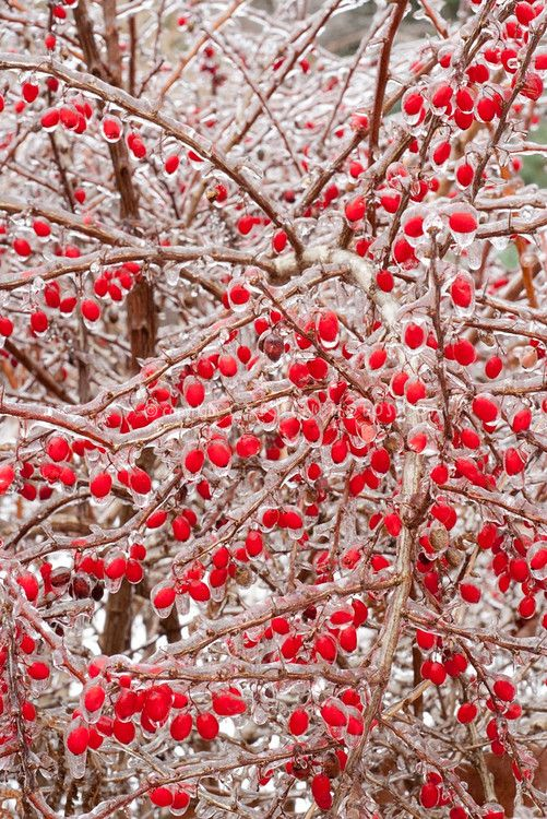 red berries in winter iced snow