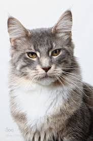 Fluffy cat breeds are some of the most popular, furry cats can be found in white, black, grey and even Siamese coloring. #catbreed