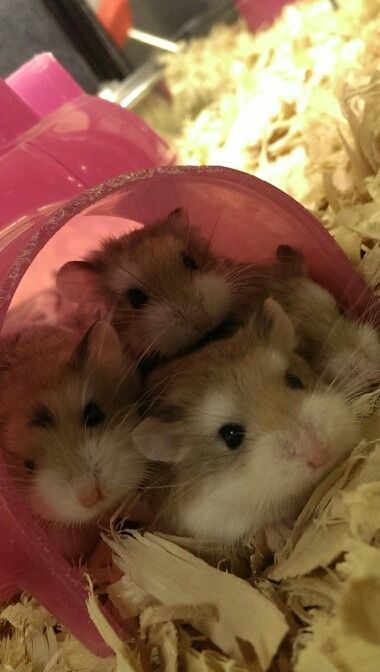 petsmart hamsters prices - 380×672