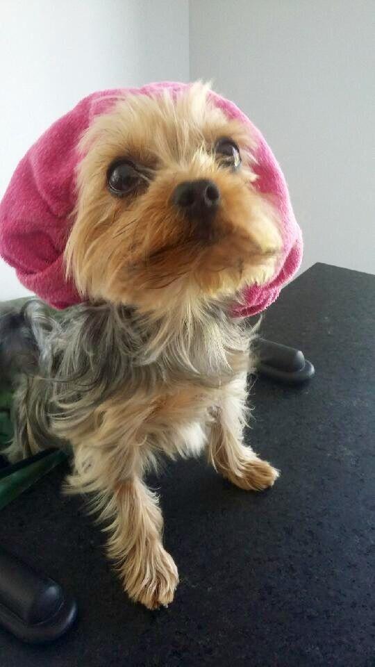 Yorkshire Terrier Nj 25+ Best Ideas about S...