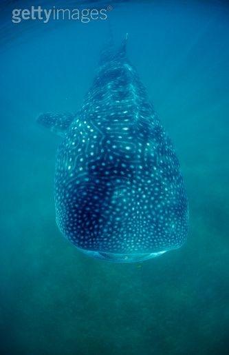 Diving with Whaleshark in Sea of Cortez, Baja California, La Paz