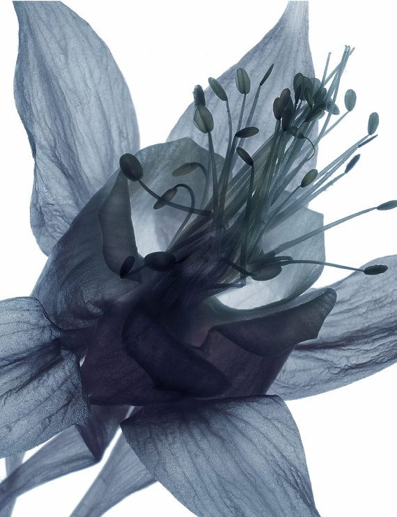 Columbine (I), 8 x 10, Contemporary Botanical Nature Print - Desaturated Blue and Purple Image