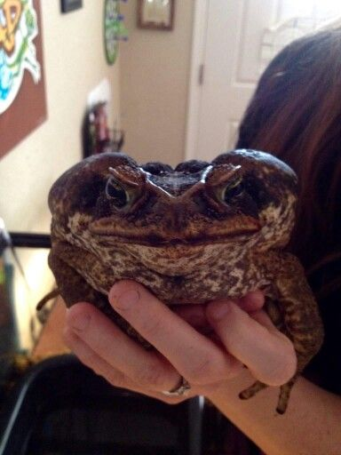 Bufo Marinus.  Commonly known as the Giant Toad.