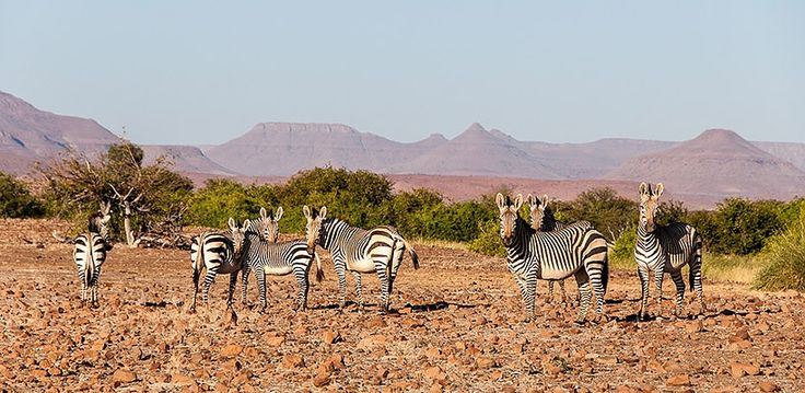 Namibia – Explore Sossusvlei, Etosha, Damaraland, Skeleton Coast | Wilderness Safaris specialist antelope such as zebra, thrive in the desert conditions