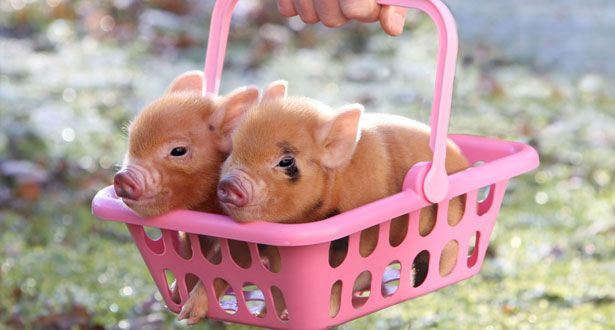 Want one please!!Piglets, Little Pigs, Miniatures Pigs, Minis Pigs, Baby Pigs, Baskets, Baby Piggies, Teacups Pigs, Animal