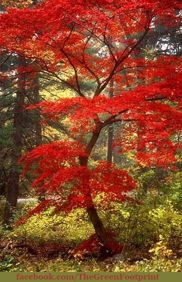 Chinese Maple - Does this remind you of a certain someone's cloak?