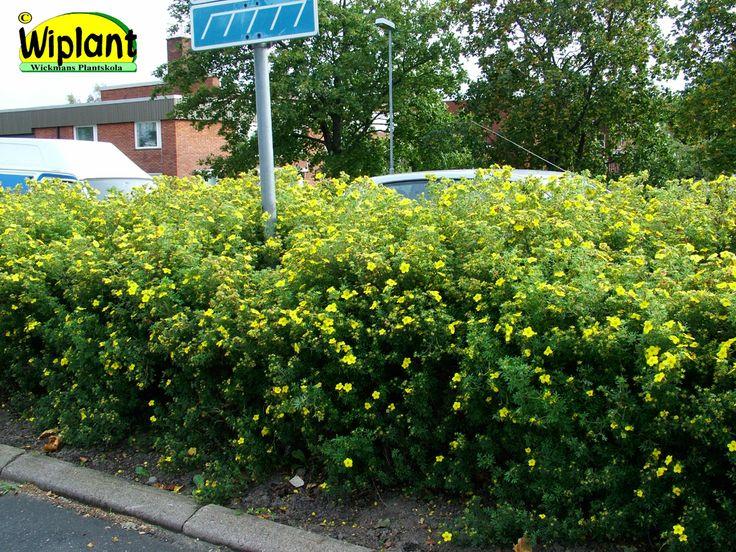Potentilla fr. 'Tervola'/'Goldfinger' Ölandstok. Blommar gult juni-okt. Tervola tidig lövsprickning på våren, bra höstfärg. Soligt-halvskuggigt läge. 0,8- 1m. Friväxande.