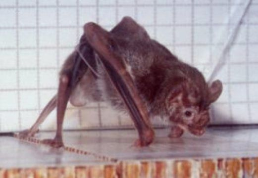 Unlike Other Bats, Vampire Bats Keep Out Of Trouble By Running, Cornell Researchers Find - Megabats (Flying-Fox, Fruit bat) and Microbats