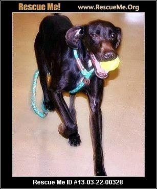 Bella— Nebraska German Shorthaired Pointer Rescue — ADOPTIONS —RescueMe.Org