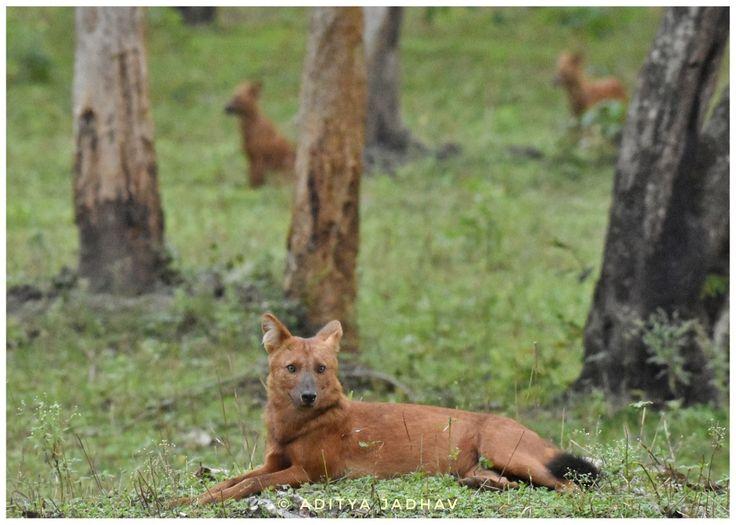 Wild dog Dhole kabini jungle Nikon wildlife photography