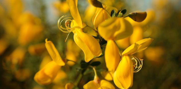Heilpflanze: Besenginster Welche therapeutische Bandbreite er in der Phytotherapie verspricht