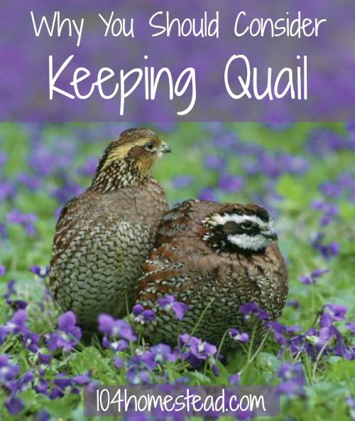 Quail are a wonderful alternative if you live where you are not allowed to have chickens or ducks. They are fun little birds, with wonderful personalities, and they lay the most delicious eggs. #quail | The 104 Homestead