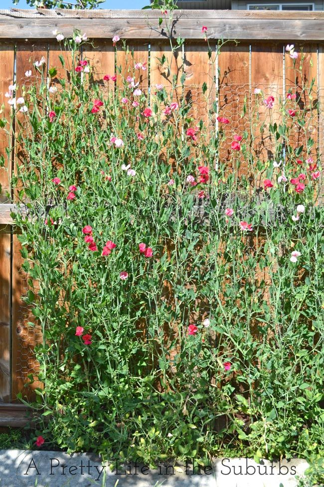 Starting Sweet Peas - A Pretty Life In The Suburbs Trying these out for privacy on my deck this year